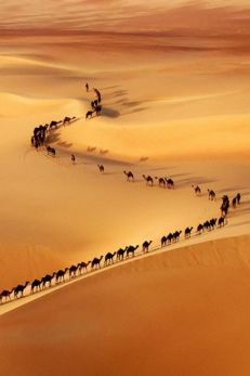 A-train-of-camels-on-the-border-of-Saudi-Arabia-and-UAE